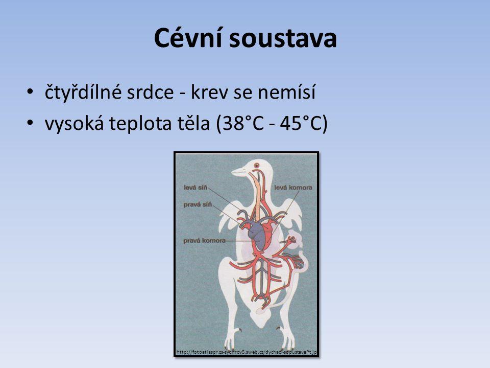Cévní soustava čtyřdílné srdce - krev se nemísí