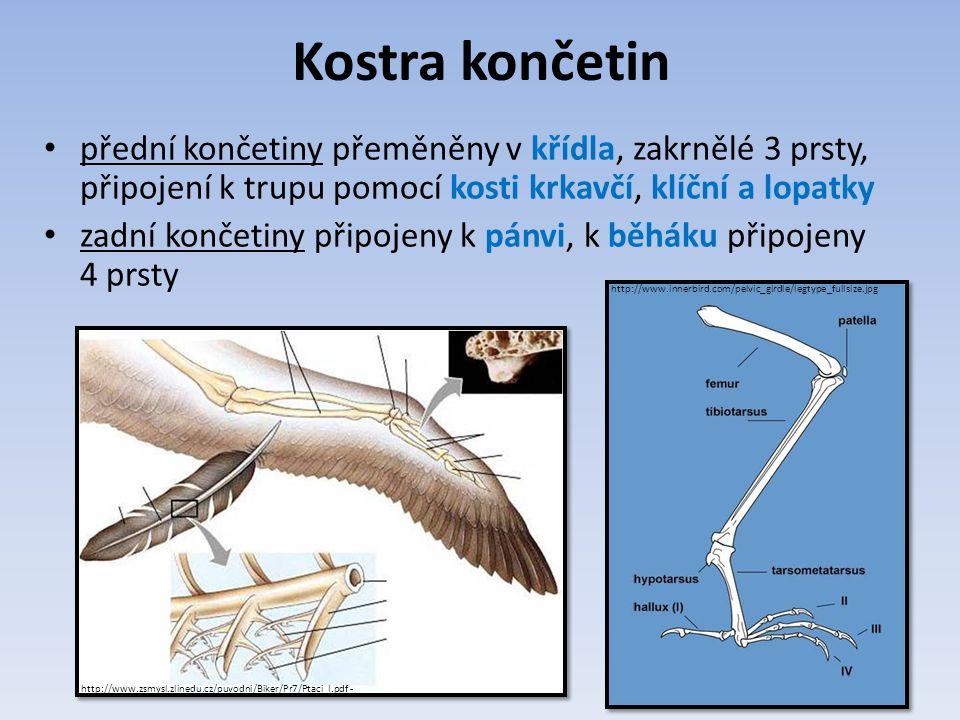 Kostra končetin přední končetiny přeměněny v křídla, zakrnělé 3 prsty, připojení k trupu pomocí kosti krkavčí, klíční a lopatky.