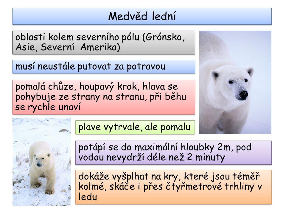 Medvěd lední oblasti kolem severního pólu (Grónsko, Asie, Severní Amerika) musí neustále putovat za potravou.