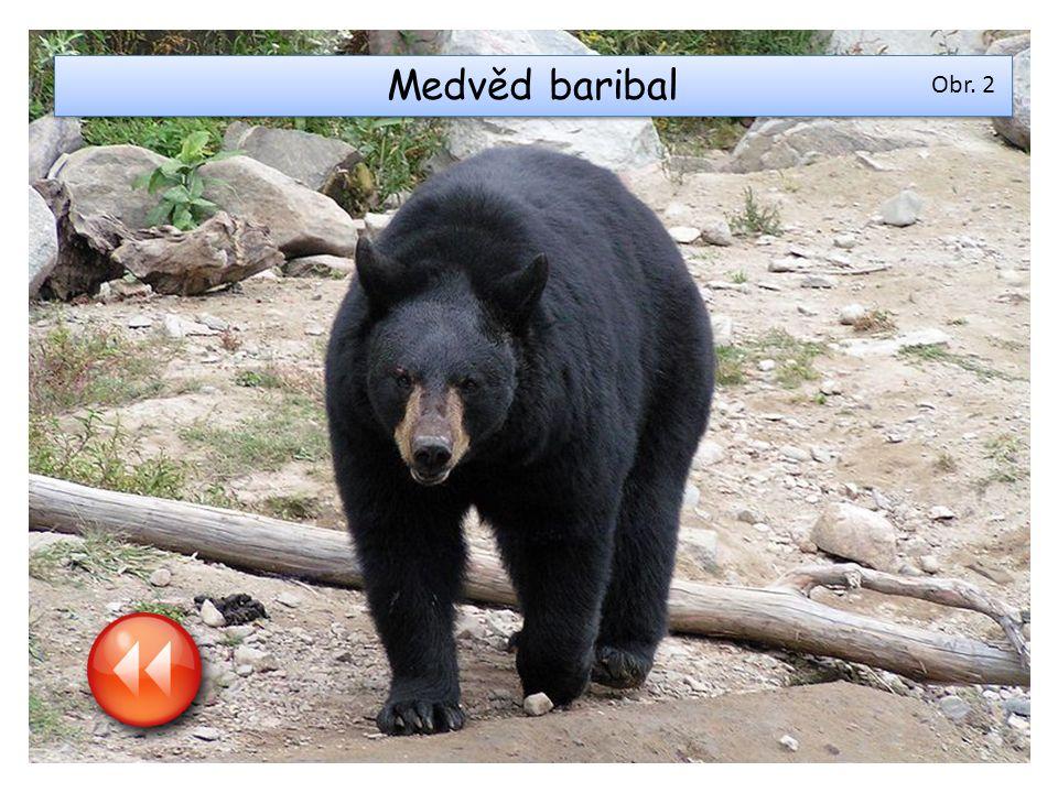 Medvěd baribal Obr. 2