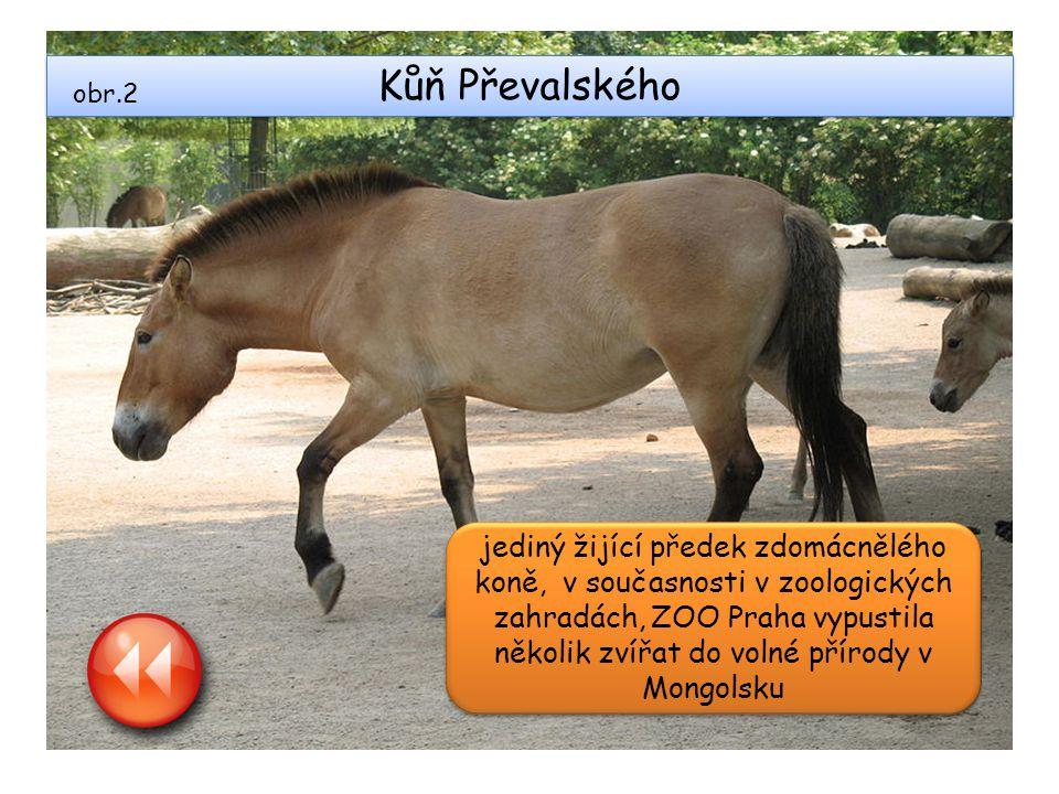 Kůň Převalského obr.2.