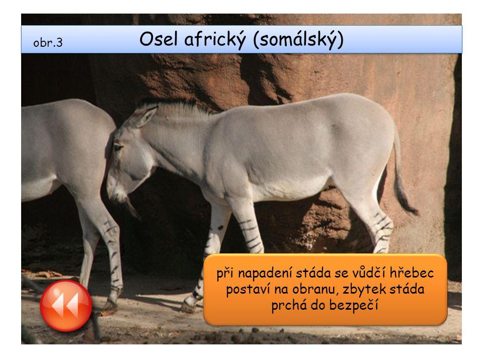 Osel africký (somálský)