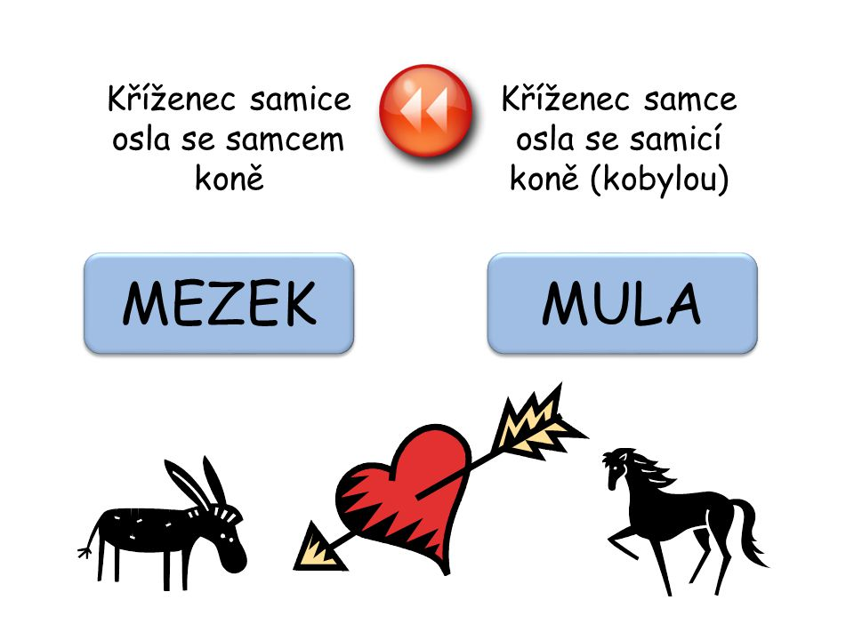 MEZEK MULA Kříženec samice osla se samcem koně