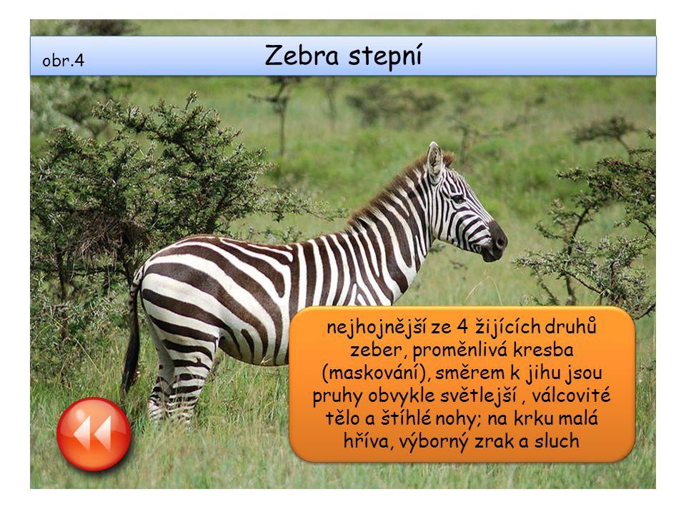Zebra stepní obr.4.