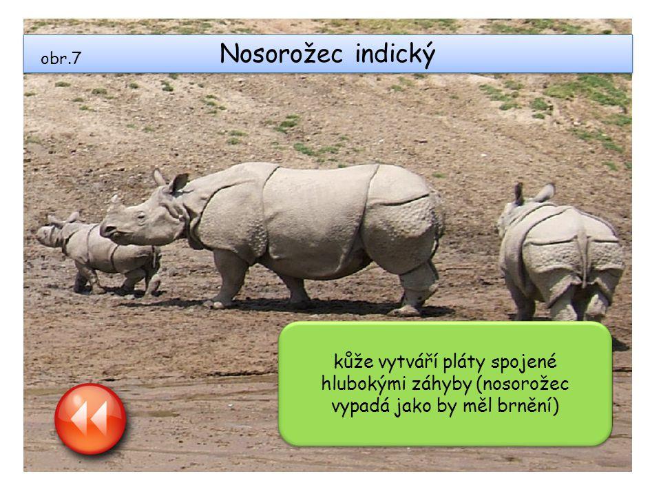 Nosorožec indický obr.7.