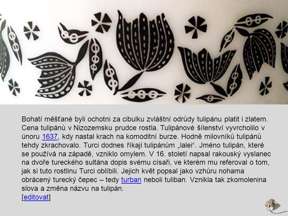 """Bohatí měšťané byli ochotni za cibulku zvláštní odrůdy tulipánu platit i zlatem. Cena tulipánů v Nizozemsku prudce rostla. Tulipánové šílenství vyvrcholilo v únoru 1637, kdy nastal krach na komoditní burze. Hodně milovníků tulipánů tehdy zkrachovalo. Turci dodnes říkají tulipánům """"lalei . Jméno tulipán, které se používá na západě, vzniklo omylem. V 16. století napsal rakouský vyslanec na dvoře tureckého sultána dopis svému císaři, ve kterém mu referoval o tom, jak si tuto rostlinu Turci oblíbili. Jejich květ popsal jako vzhůru nohama obrácený turecký čepec – tedy turban neboli tuliban. Vznikla tak zkomolenina slova a změna názvu na tulipán."""