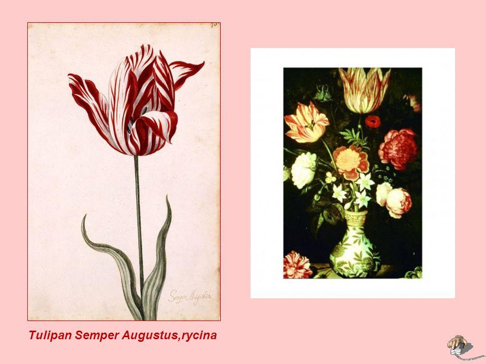. Tulipan Semper Augustus,rycina