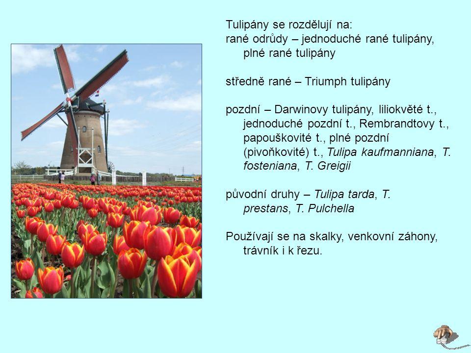 Tulipány se rozdělují na: