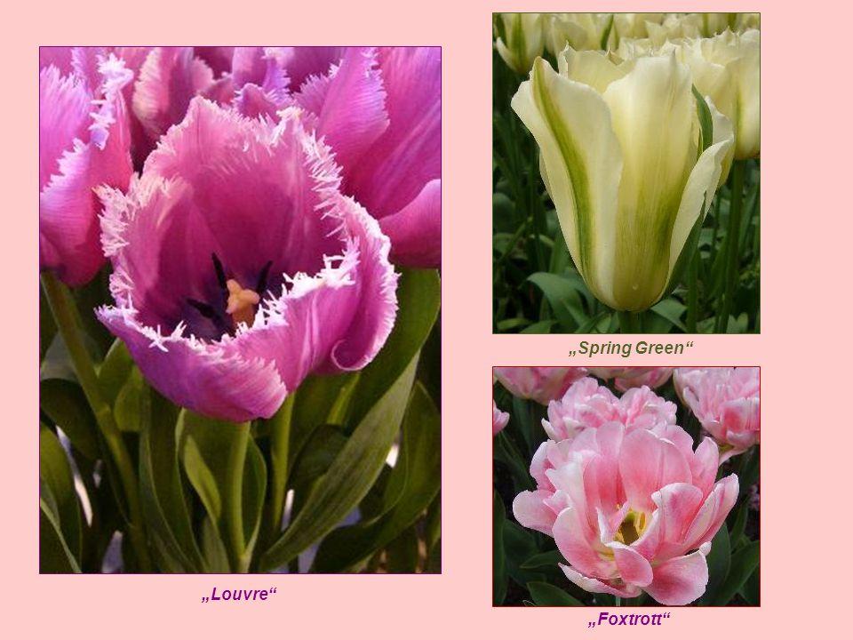 """""""Spring Green """"Louvre """"Foxtrott"""