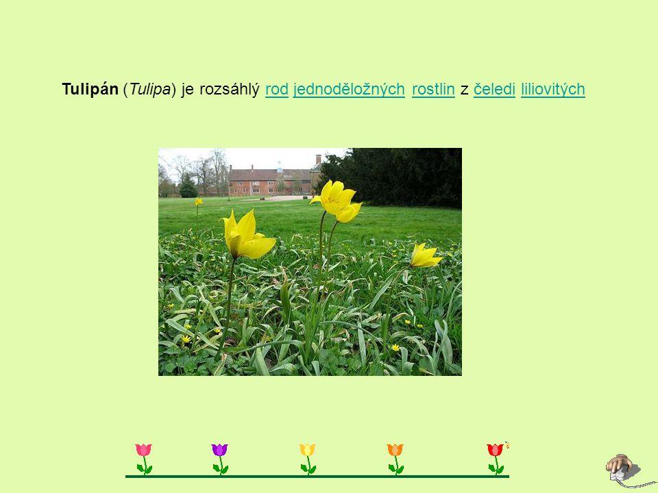 Tulipán (Tulipa) je rozsáhlý rod jednoděložných rostlin z čeledi liliovitých