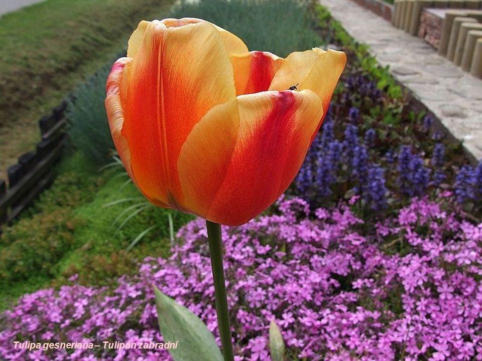 Tulipa gesneriana – Tulipán zahradní