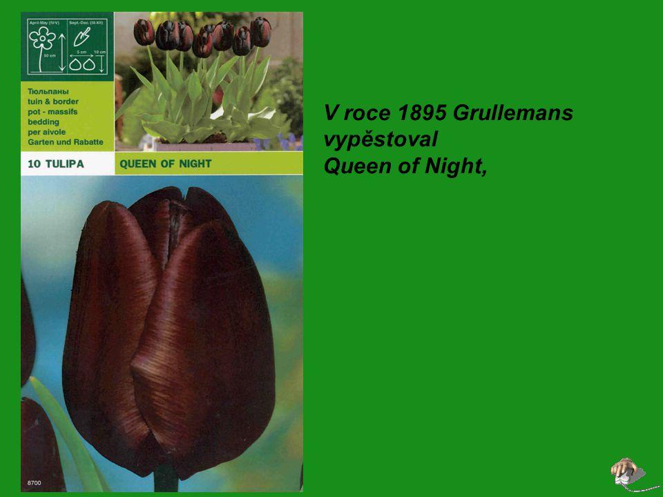V roce 1895 Grullemans vypěstoval