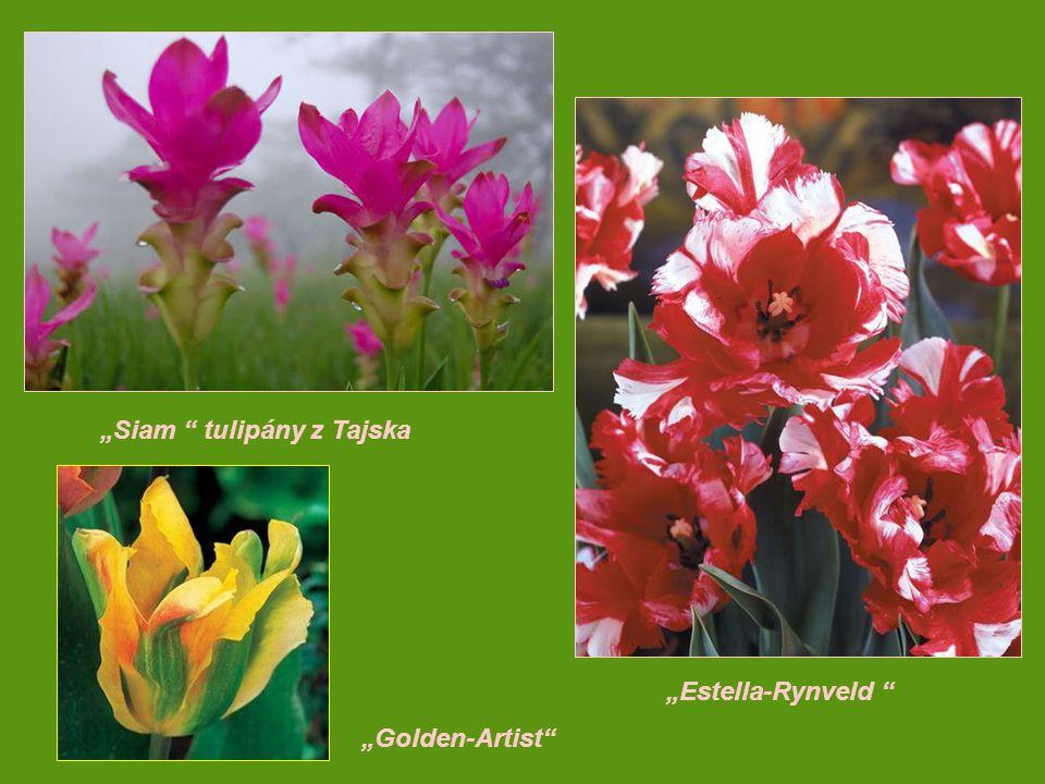 """""""Siam tulipány z Tajska"""