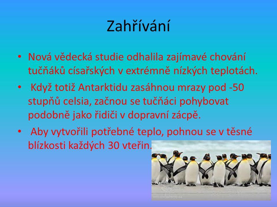 Zahřívání Nová vědecká studie odhalila zajímavé chování tučňáků císařských v extrémně nízkých teplotách.