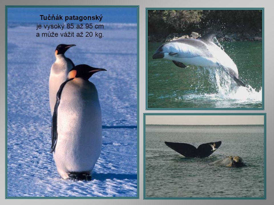 je vysoký 85 až 95 cm a může vážit až 20 kg.