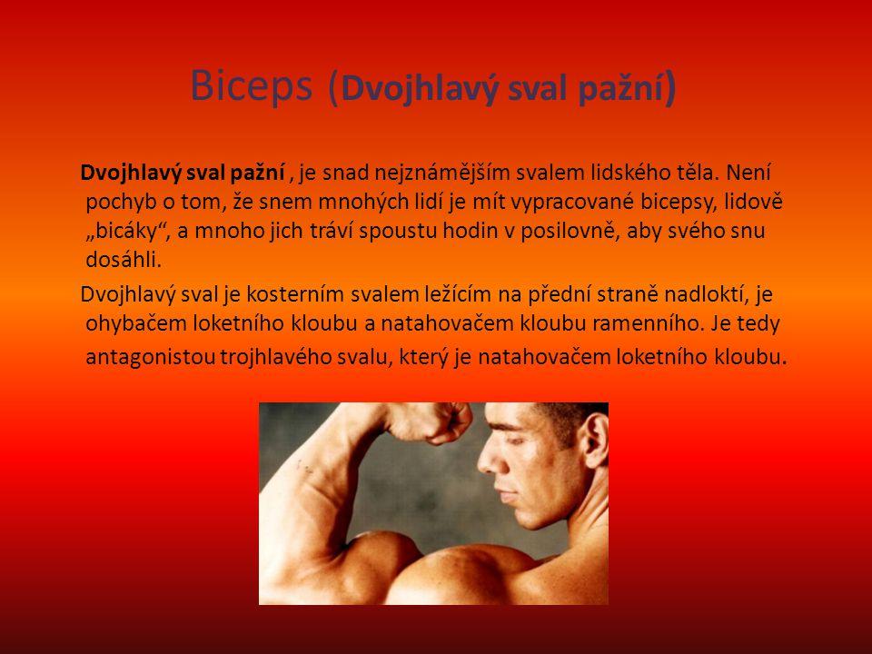 Biceps (Dvojhlavý sval pažní)