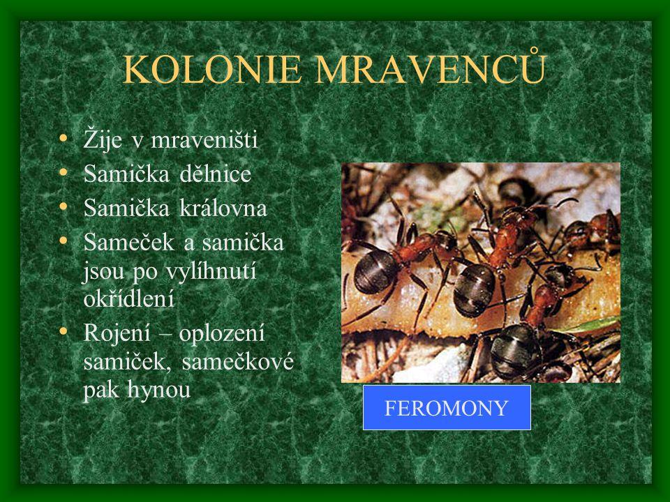KOLONIE MRAVENCŮ Žije v mraveništi Samička dělnice Samička královna