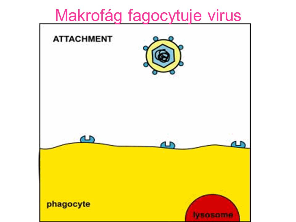 Makrofág fagocytuje virus