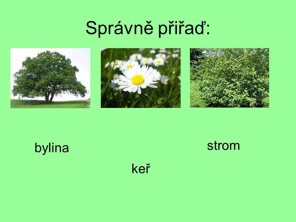 Správně přiřaď: strom bylina keř