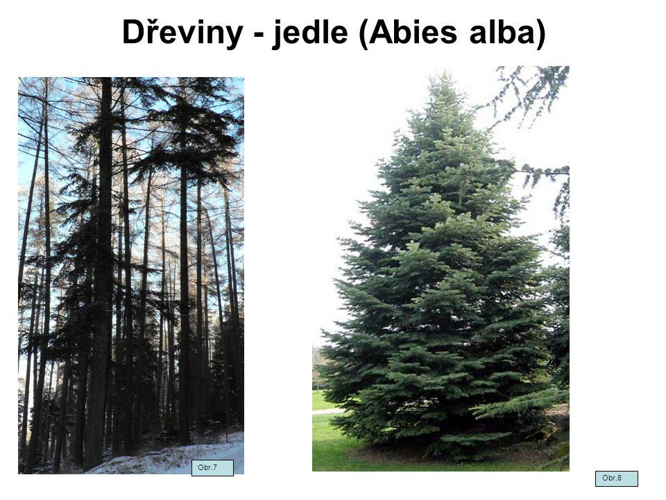 Dřeviny - jedle (Abies alba)