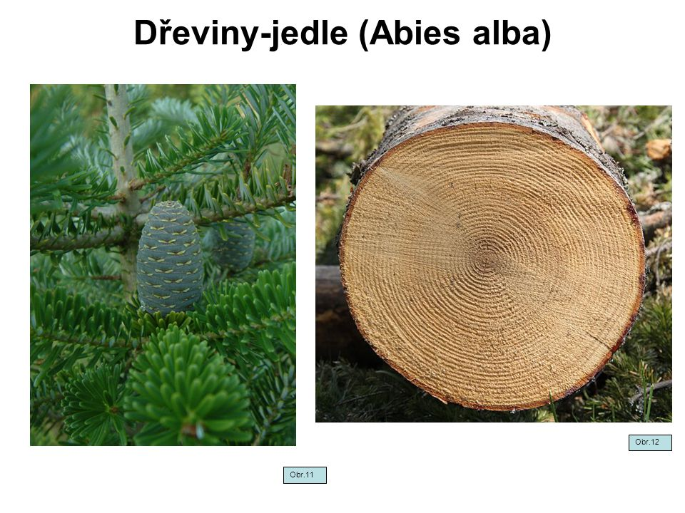Dřeviny-jedle (Abies alba)