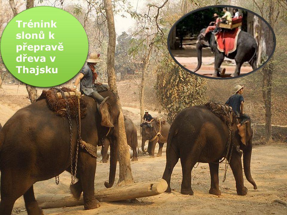 Trénink slonů k přepravě dřeva v Thajsku