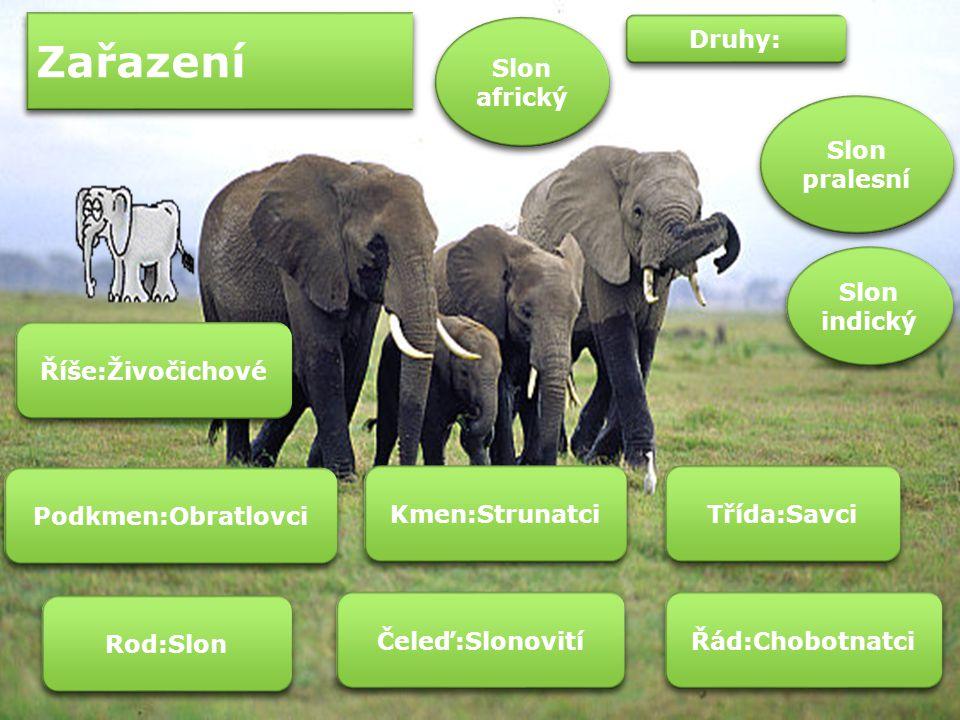 Zařazení Slon africký Druhy: Slon pralesní Slon indický
