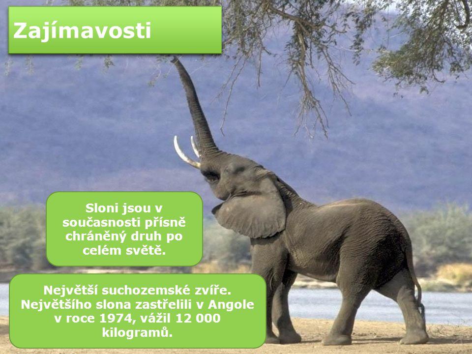 Sloni jsou v současnosti přísně chráněný druh po celém světě.