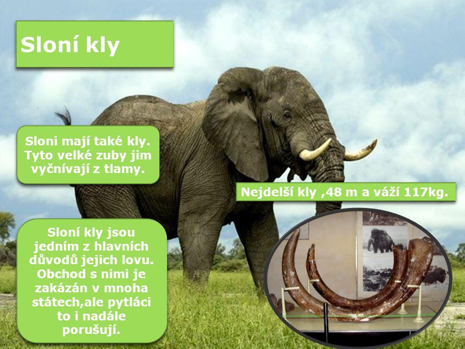 Sloni mají také kly. Tyto velké zuby jim vyčnívají z tlamy.
