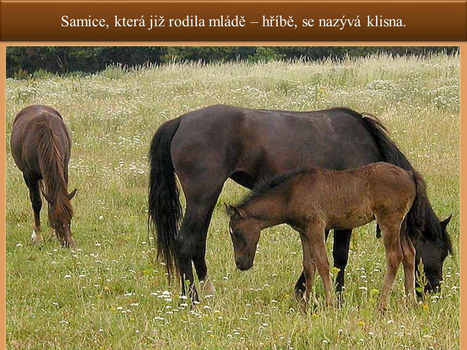 Samice, která již rodila mládě – hříbě, se nazývá klisna.