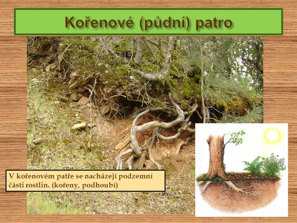 Kořenové (půdní) patro
