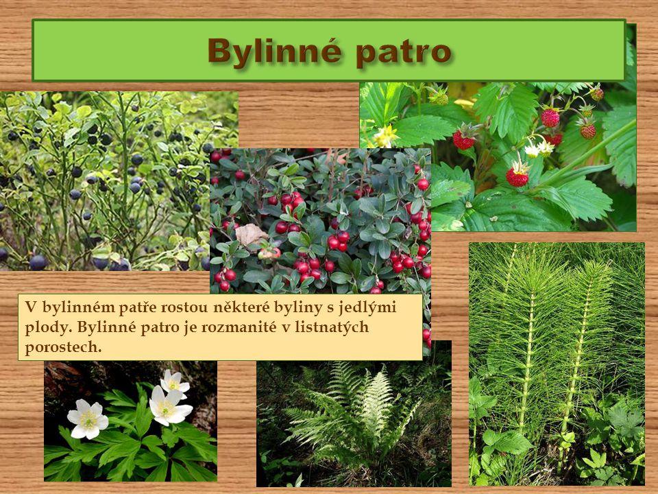 Bylinné patro V bylinném patře rostou některé byliny s jedlými plody.