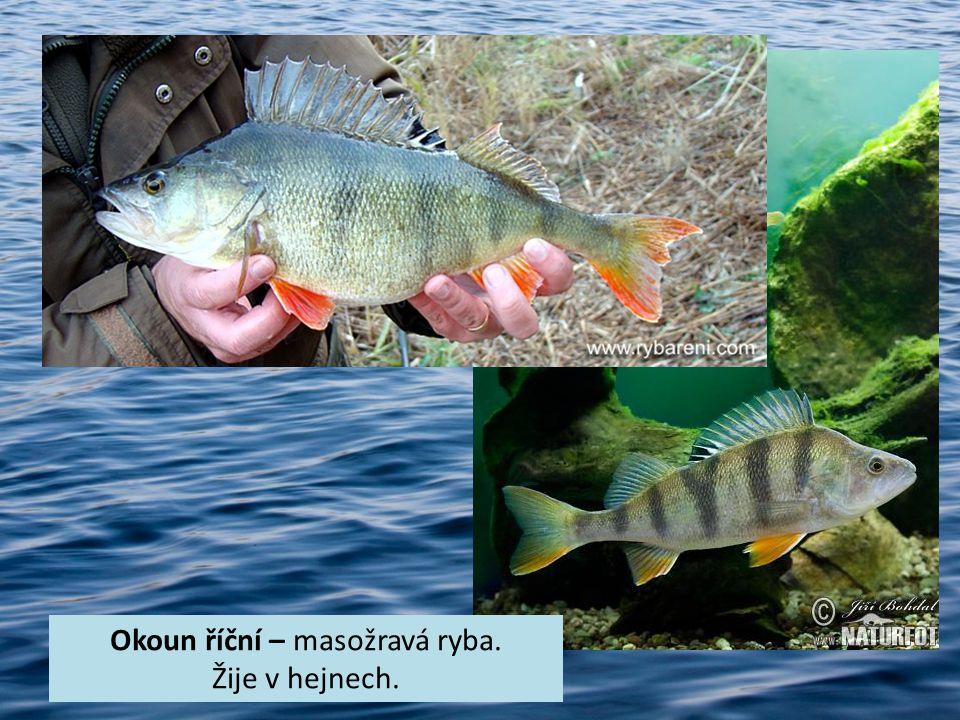 Okoun říční – masožravá ryba.