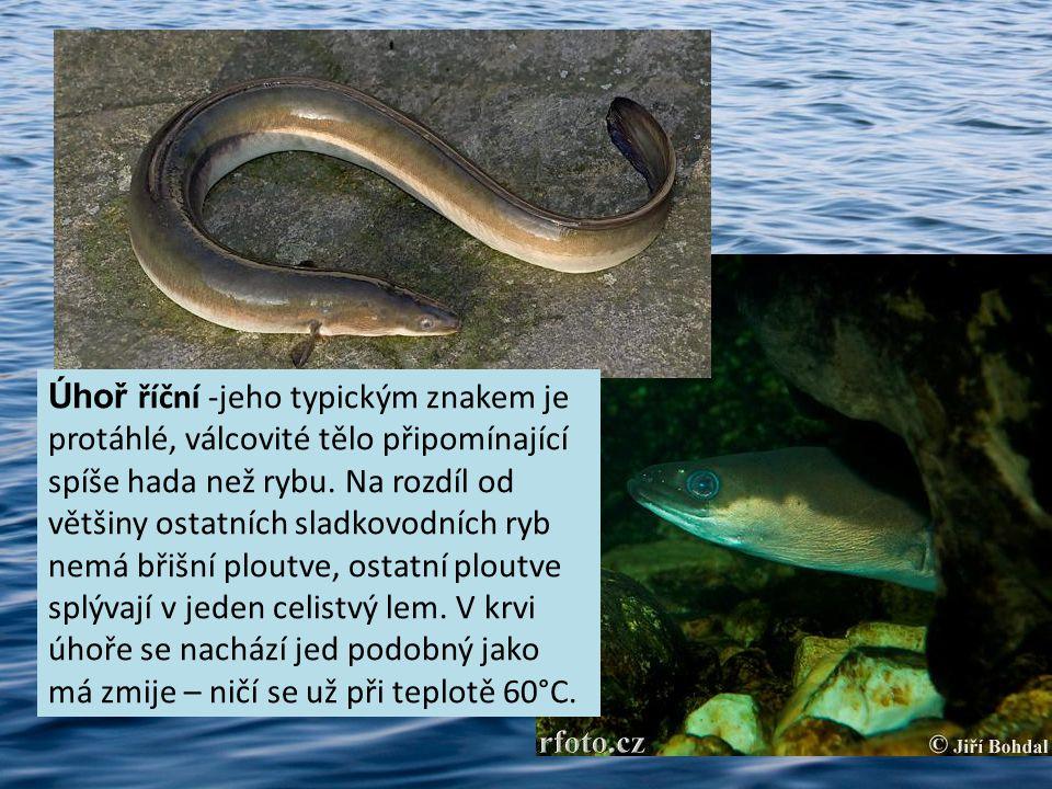 Úhoř říční -jeho typickým znakem je protáhlé, válcovité tělo připomínající spíše hada než rybu.
