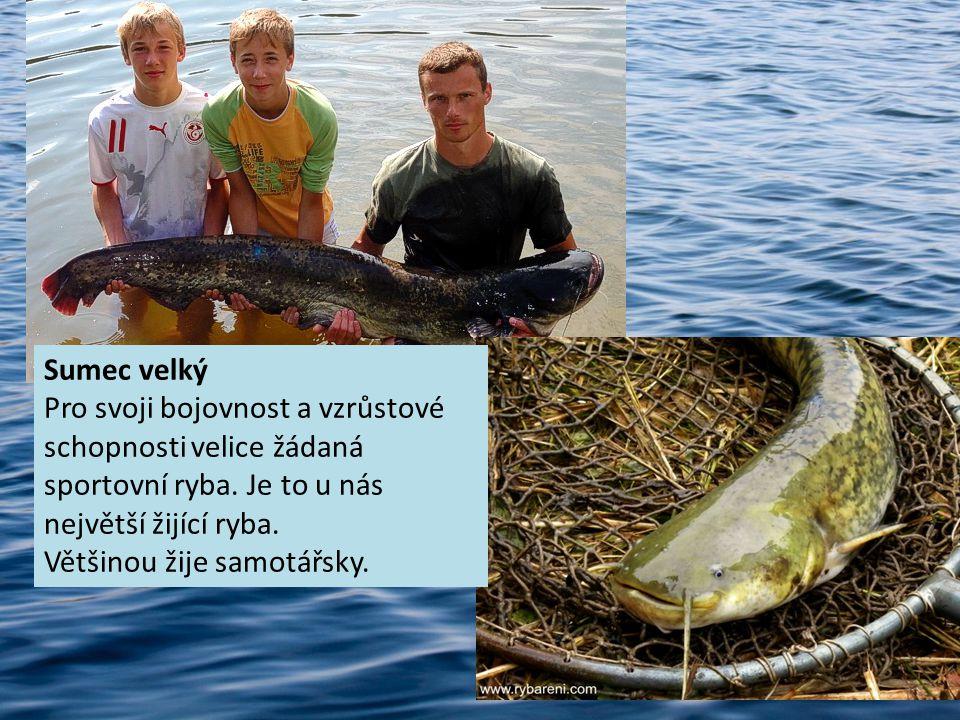 Sumec velký Pro svoji bojovnost a vzrůstové schopnosti velice žádaná sportovní ryba.