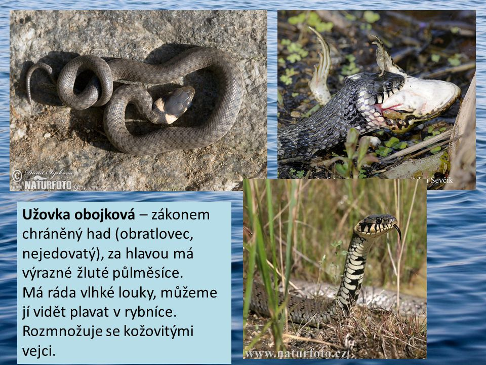 Užovka obojková – zákonem chráněný had (obratlovec, nejedovatý), za hlavou má výrazné žluté půlměsíce.