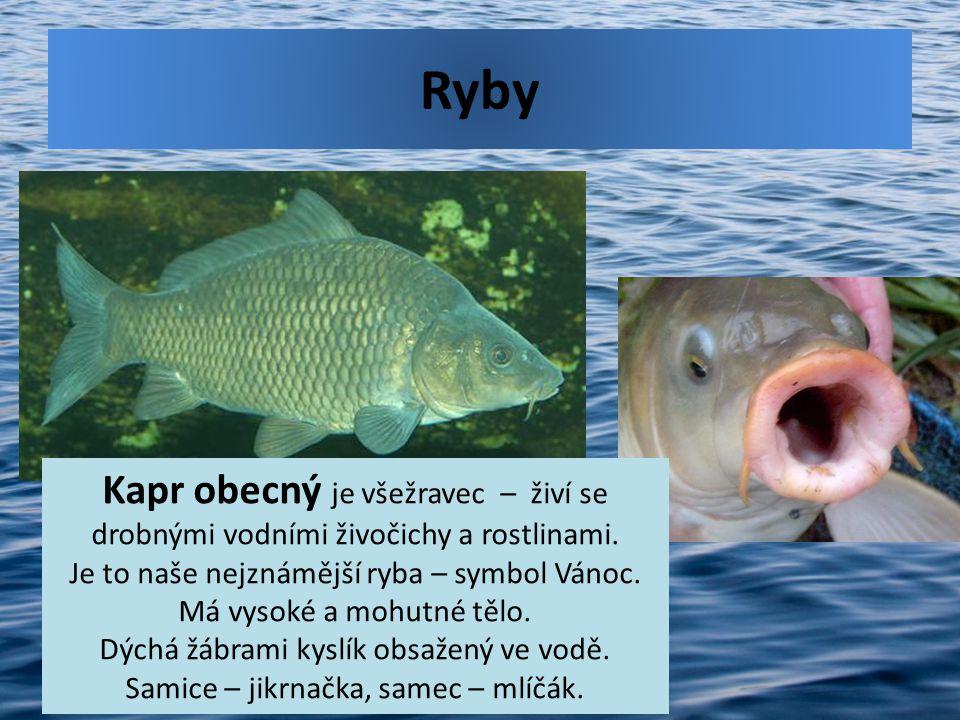 Ryby Kapr obecný je všežravec – živí se