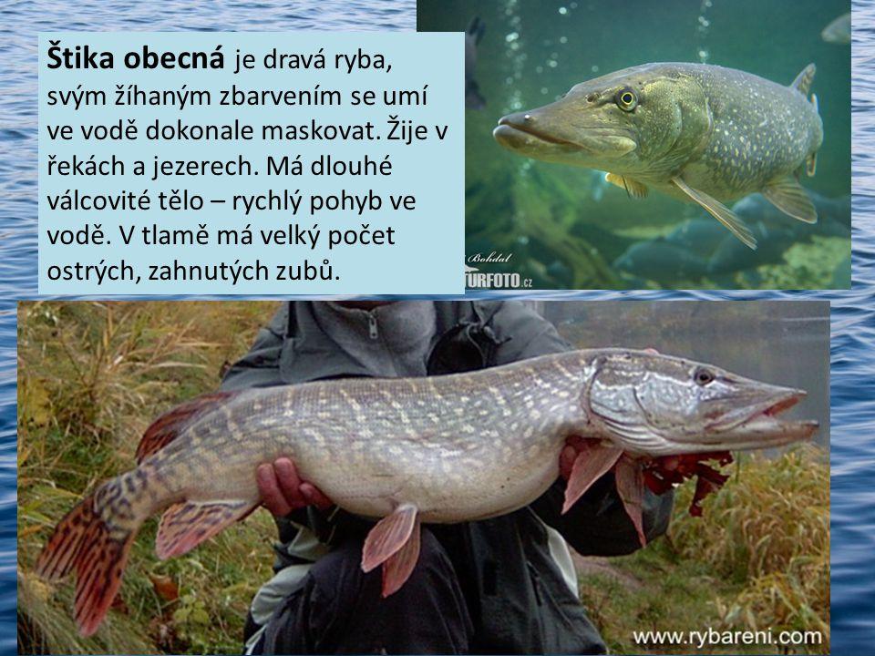 Štika obecná je dravá ryba, svým žíhaným zbarvením se umí ve vodě dokonale maskovat.