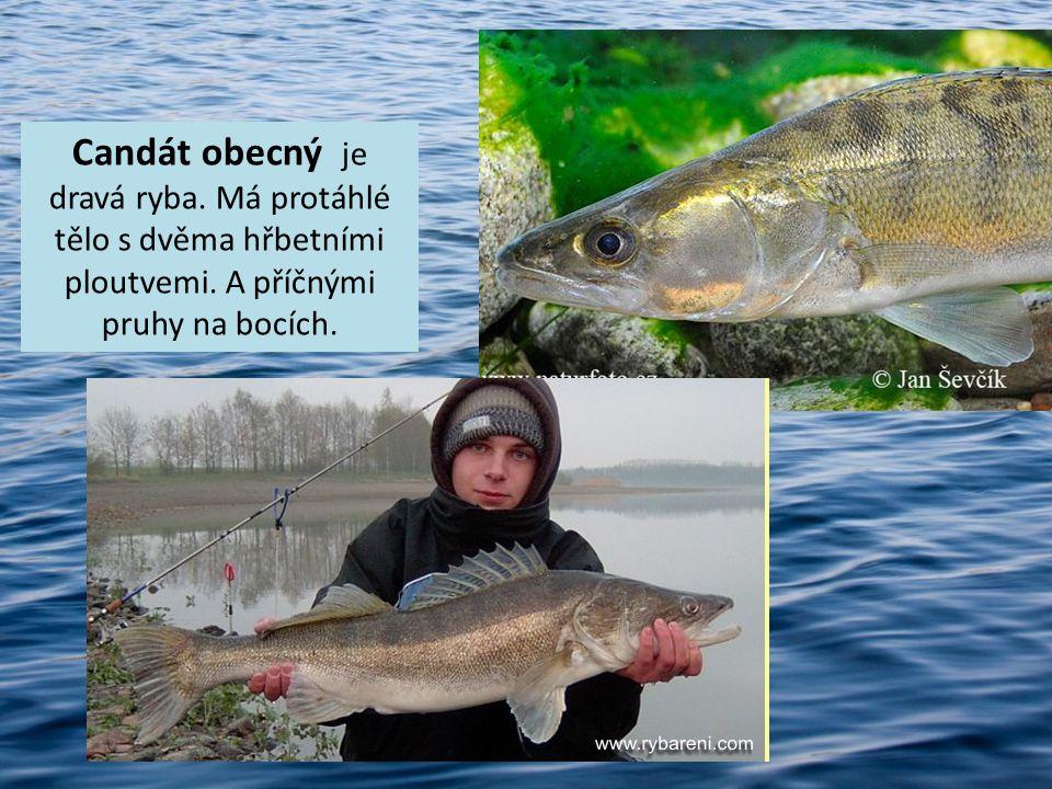 Candát obecný je dravá ryba