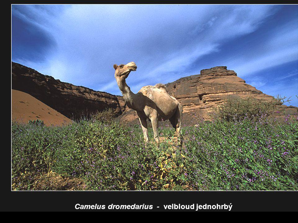 Camelus dromedarius - velbloud jednohrbý