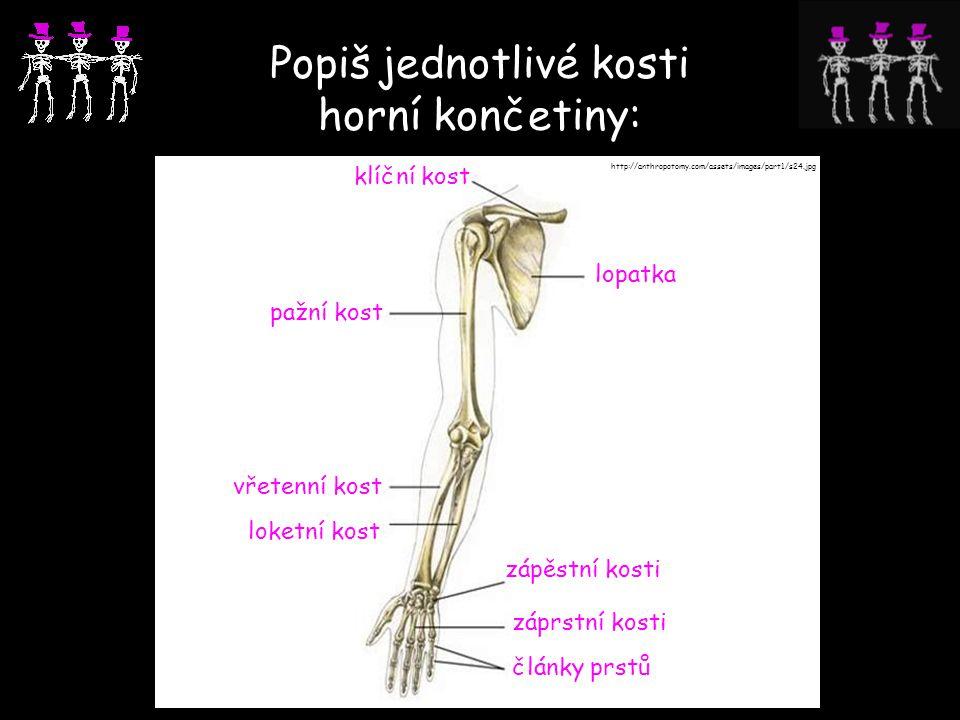 Popiš jednotlivé kosti horní končetiny:
