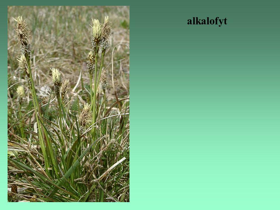alkalofyt