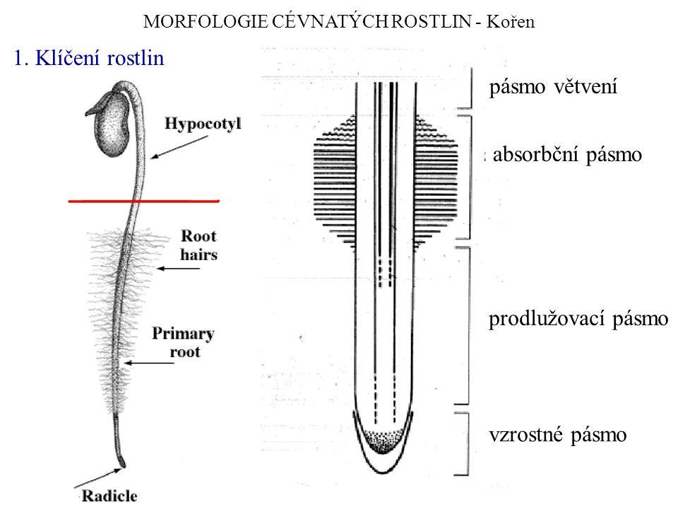 MORFOLOGIE CÉVNATÝCH ROSTLIN - Kořen