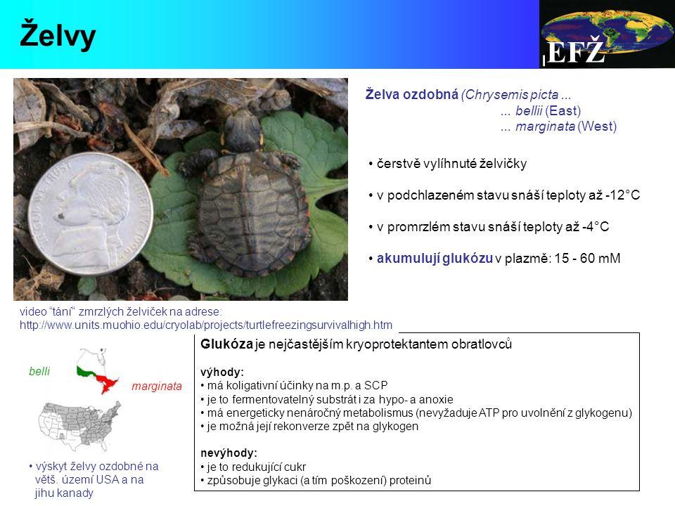 Želvy EFŽ Želva ozdobná (Chrysemis picta ... ... bellii (East)