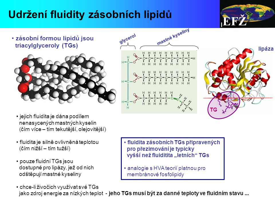 EFŽ Udržení fluidity zásobních lipidů zásobní formou lipidů jsou