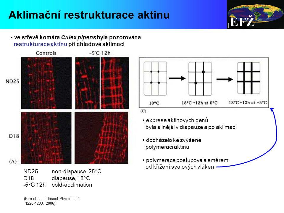 EFŽ Aklimační restrukturace aktinu