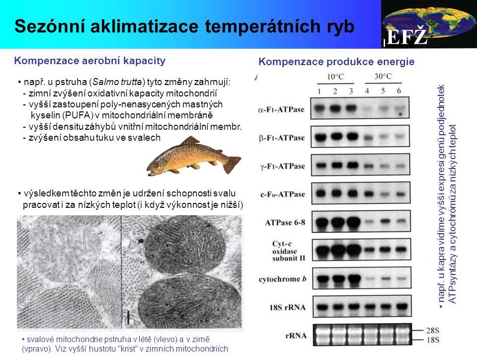 EFŽ Sezónní aklimatizace temperátních ryb Kompenzace aerobní kapacity