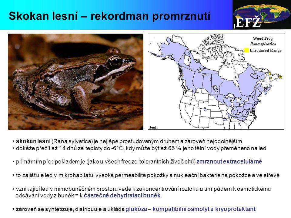 EFŽ Skokan lesní – rekordman promrznutí