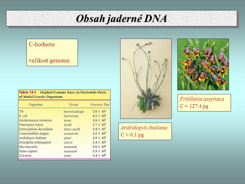 Obsah jaderné DNA C-hodnota velikost genomu Fritillaria assyriaca