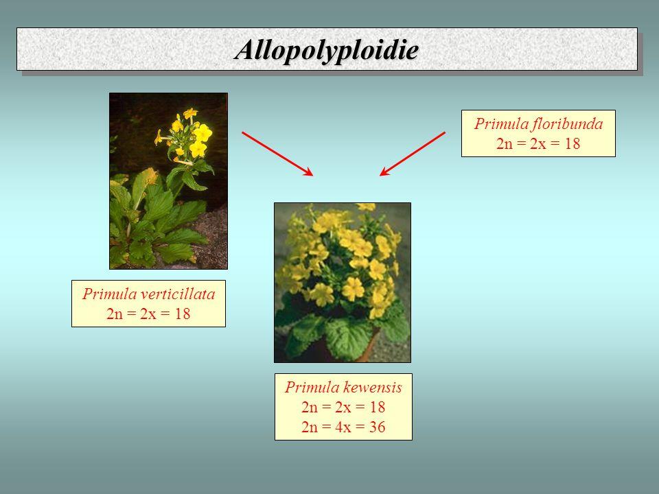 Allopolyploidie - Primula